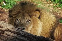 Lion No. 742 von Roger Brandt