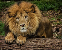 Lion No. 753 von Roger Brandt