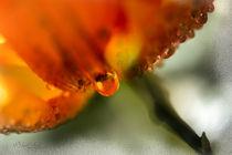 Blüte mit Tropfen by Nicc Koch