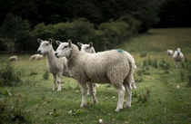 Sheep and Flock by Michael Robbins