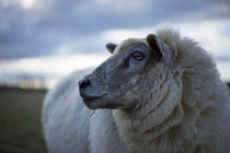 Sheep Up Close by Michael Robbins