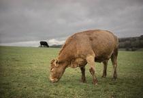 Cows von Michael Robbins