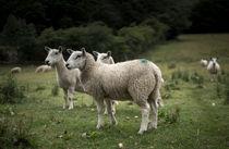 Welsh Sheep von Michael Robbins