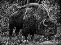Mighty Buffalo by Marco Bittel
