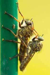 Gemeine Raubfliegen bei der Paarung 2 by toeffelshop