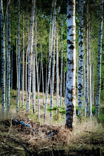 Birch wood von Thomas Matzl
