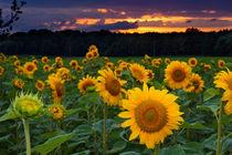 Happy holidays - Sonnenblumen im Sonnenuntergang von Manuel Paul