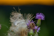 Dischdl - Distel -  Mariendisteln (Silybum) by Manuel Paul