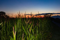 we ́ve seen corn - Maisfeld im Sonnenuntergang von Manuel Paul