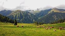 Zillertal - Kuhgeläute auf der Weide by Hartmut Binder