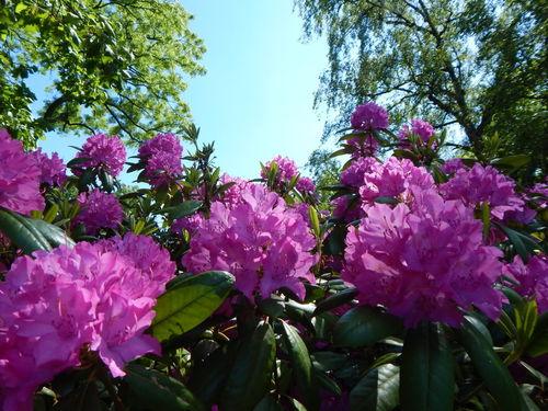 Rosa-blumen-original