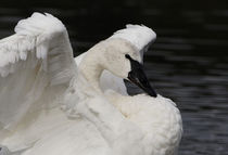 Swans Glory by Sue Harper