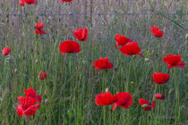 Poppy Fence by Ed The Frog