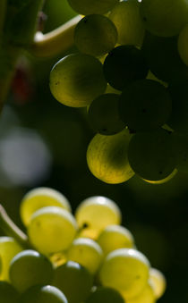 Von der Sonne verwöhnt ... Weintrauben im Herbst von ysanne