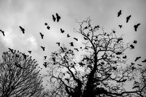 Flock of crows jumping of the bare branches by Jessy Libik