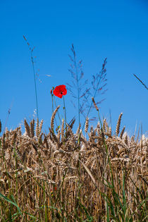 Lonesome poppy flower protruding from the crops by Jessy Libik