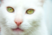 White cat with green eyes and a pink nose by Jessy Libik