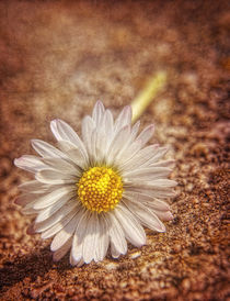 Just a daisy by ekphotoart