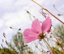 pink1 von Jacqueline Schreiber