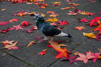 Camuflage autumn pigeon by Jessy Libik