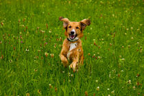 Golden colored dog happily jumping through the high grass by Jessy Libik