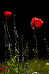 Glowing poppy flowers by Jessy Libik