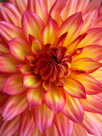 Leuchtende Dahlienblüte, Makrofotografie, blossom of dahlia von Dagmar Laimgruber