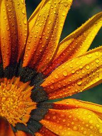 Kokarden-Blüte mit Wassertropfen, Makro, blossom of firewheel and water drops von Dagmar Laimgruber