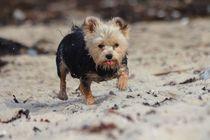 Yorkshire Terrier am Strand von Simone Marsig