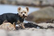 Yorkshire Terrier am Strand ganz aufmerksam mit Beute von Simone Marsig