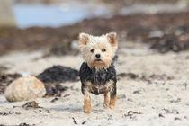 Yorkshire Terrier am Strand ganz aufmerksam von Simone Marsig