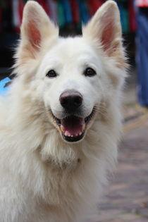 lachender Schäferhund in weiß  von Simone Marsig