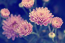 Zarte Chrysanthemen  von er