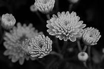 Chrysantheme schwarz und weiss von er