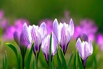 Frühlingsboten von Ingrid Clement-Grimmer