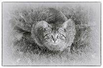 Tiger by kiwar