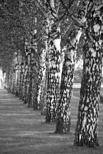 Birken-Spalier von kiwar