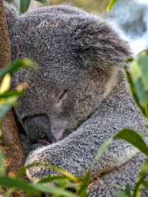 Sleeping Koala von Steven Ralser