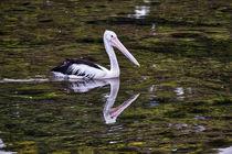 Pelican, Narooma, Australia  von Steven Ralser