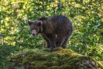 Bear 838416 by Mario Fichtner