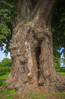 MIGHTY OLD TREE von Uli Gnoth