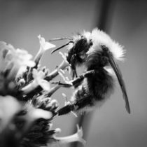 black and white bee by Alexandre Gaillard