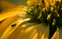 yellow flower and tiny fly von Alexandre Gaillard