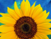 Sonnenblume by Peter Bergmann