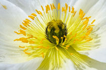 white poppy von nature-spirit