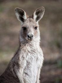 Kangaroo, Canberra, Australia von Steven Ralser