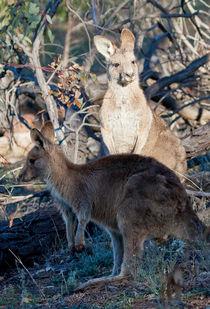 Kangaroos, Canberra, Australia  von Steven Ralser