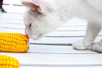 Cat and the corn  by Jessy Libik