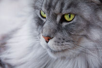 Bright green eyed silver colored Maine Coon cat von Jessy Libik