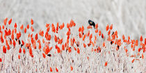 Red-Winged Blackbird on Sumac by Steven Ralser